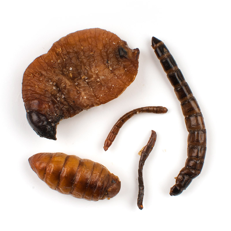 Mixed Pupae