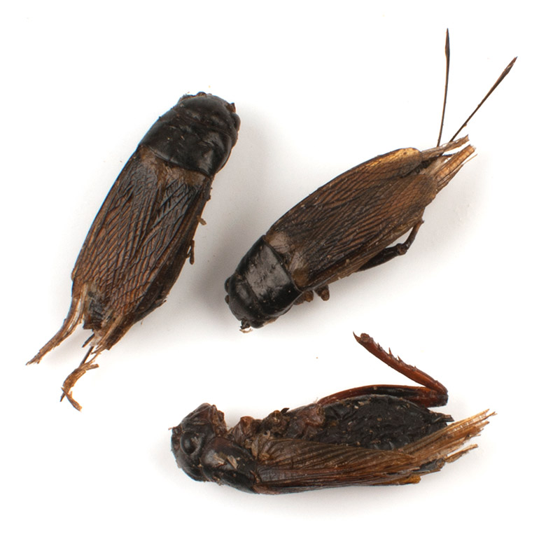 how to get rid of mole crickets australia